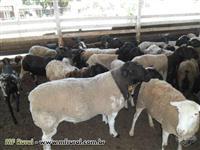 Carneiros Reprodutores e Ovelhas de todas as raças