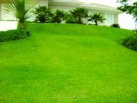 Sementes de grama esmeralda