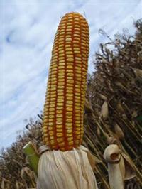 Sementes de milho BM207 - Grãos e Silagem - Sacos de 10 kg e 02 kg