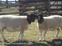 Ovinos (carneiros) Dorper e White Dorper