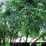 Sementes de Bambu Indiano, Bambusa Bambos