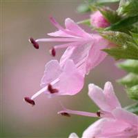 Sementes de GUANANDI  normais  e  germinadas