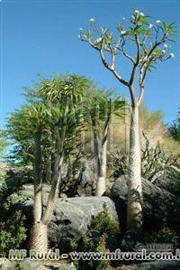 SEMENTES DE NEEM a árvore da vida, alto lucro com plantio de neem