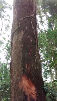 Vendo arvores de eucalipto comuns, no porte de Tóras e mouroes