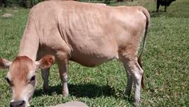Vende-se vacas Jersey paridas c/ bezerro novo