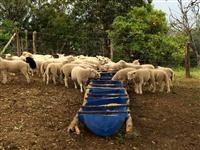 Borregos e Ovelhas Texel para corte ou cria. Excelentes animais!