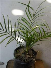 Mudas de palmeira fenix