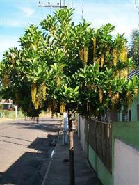 Árvore Chuva de Ouro (Lofantera) - Lophantera lactescens - 2 metros
