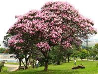 Árvores Quaresmeiras Rosa e Roxa - Tibouchina granulosa - 2 metros