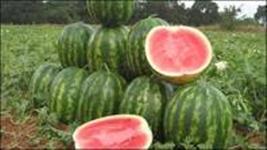 melancias hibridas direto do produtor irrigada/doce e todos os tamanhos