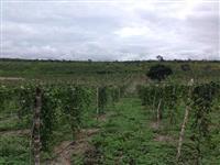 maracujá amarelo irrigado (Venda ano todo)tipo exportação