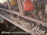 Codornas gigantes e japonica abatidas e ovos galados