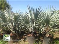 Mudas de Palmeira Azul (Bismarckia nobilis), Rabo-de-raposa, Washingtonia e outr