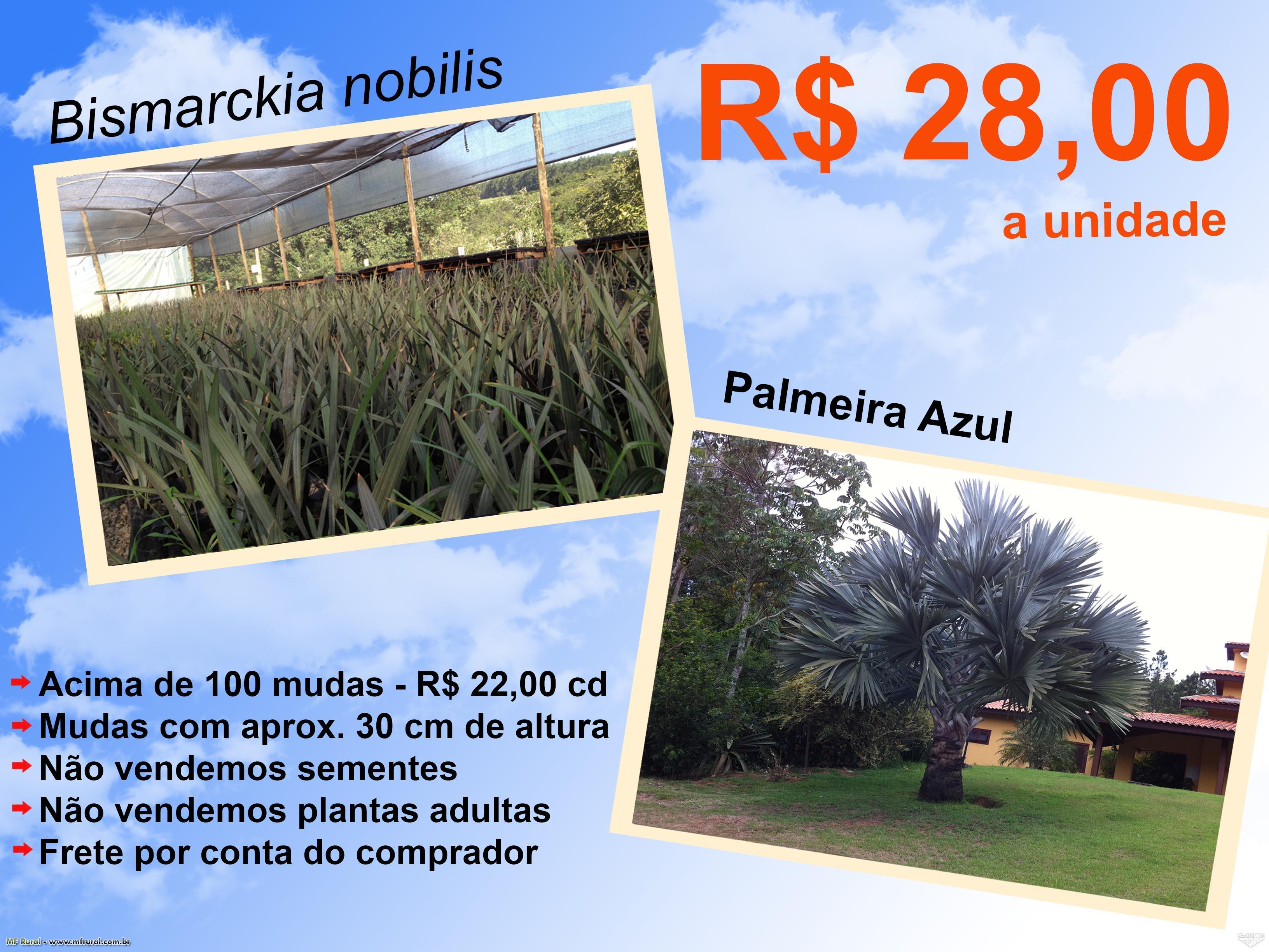 MUDAS DE PALMEIRA AZUL (Bismarckia nobilis), Drac. draco, Garrafa, Washingtonia