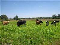 Vende-se 07 vacas holandesas, inclui novilhas