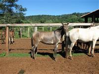Burros e Mulas marchadores à venda