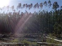Cavaco de Madeira e Toras de Eucalipto