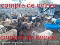 Compra de ovinos em geral