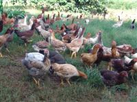 Venda galinha Caipira lotes 20 unidades 2,800kgs