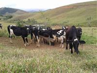 Bezerras girolandas para produção de leite