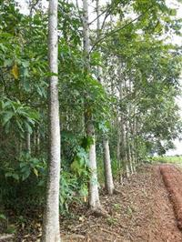 madeira lei cedro australiano