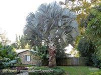 mudas Palmeira Azul Bismarckia Nobilis Gigante