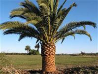 Sementes de palmeira, diversas espécies, nativas, exóticas e ornamentais