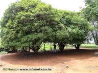 Mudas de jábuticabeira Sabara com 3 anos, produz o ano inteiro