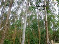 Fazenda com Reflorestamento de Eucalipto Grandis em Papanduva -SC Oportunidade