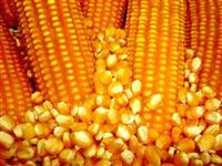 Milho granel ou ensacado