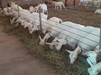 Cabras sanem produzindo 4 litros de leite dia