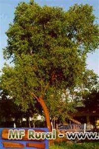 Sandalo branco hindu (Santalum album) petroleo verde - 100g Sementes