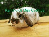 Mini coelhos - Coelhos Anões