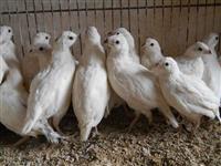PRE VENDA - Ovos ferteis de codornas BOBWHITE MIX, BRANCAS!, Mexicanas e mais!