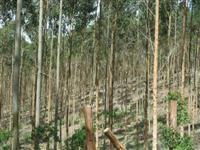 área de 132 ha com eucalipto