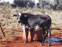 Venda de novilhas e vacas girolando