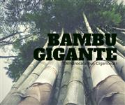 Pequeno lote de mudas de Bambu Gigante (Dendrocalamus giganteus) a pronta entrega