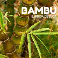 COMPRE E LEVE O DOBRO! Raríssimo Bambu Barriga de Buda (Buddha´s Belly)