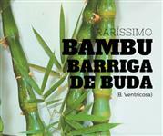 Raríssimo Bambu Barriga de Buda (Buddha´s Belly) - DIRETO DO PRODUTOR