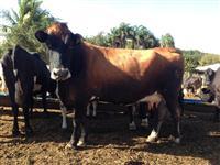 Vacas Jersey - Jersolando