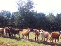 Lote de Gado Jersey - Manejo de Base Agroecológica - em Conformidade Orgânica