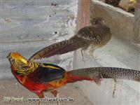 OPORTUNIDADE! Aves Ornamentais - Venda de faisão faisões matrizes e filhotes