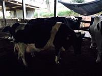 Vacas Bezerras e Novilhas Holandesas - Aceito Troca por Automóvel ou Imovel
