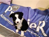 Lindissimos filhotes de border collie com pedigree
