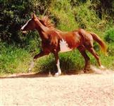 Lindíssima égua paulista
