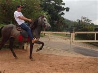 lindo cavalo mangalarga mineiro