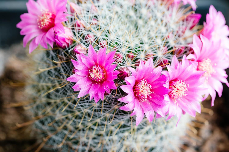 Floración de Cactus & Suculentas 