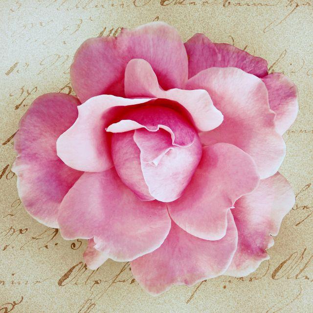 Poster Rosa Vintage