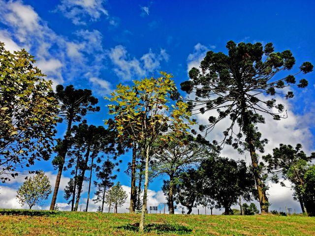 Poster Araucárias   árvore árvores