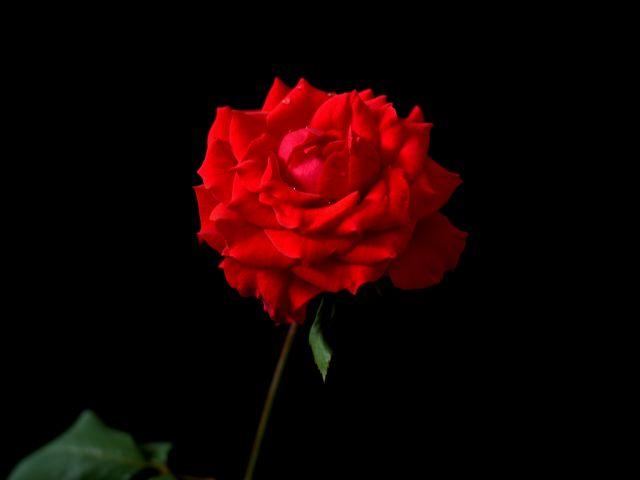 Poster Red Roses 2   rosas vermelhas flor vermelho